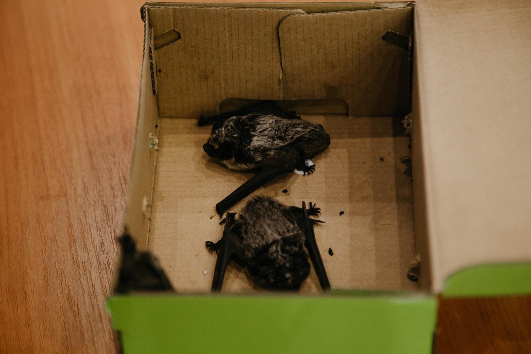 Раз или дважды в неделю Алексей Шпак либо его помощники доставляют партию летучих мышей на Макаёнка. В коробке из-под обуви, растопырив крылья, трое двухцветных кожанов.