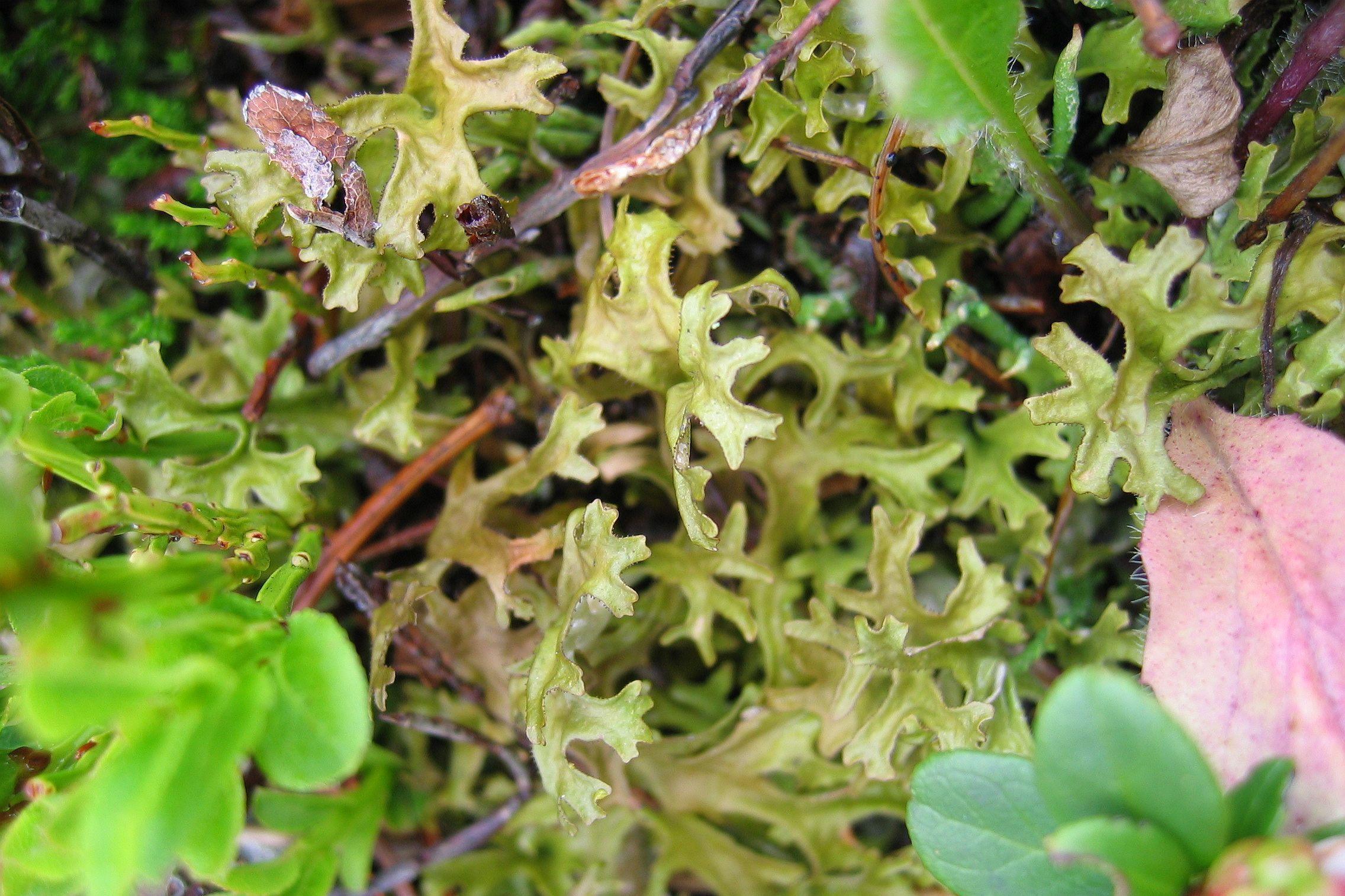 Исландский мох © wikipedia.org